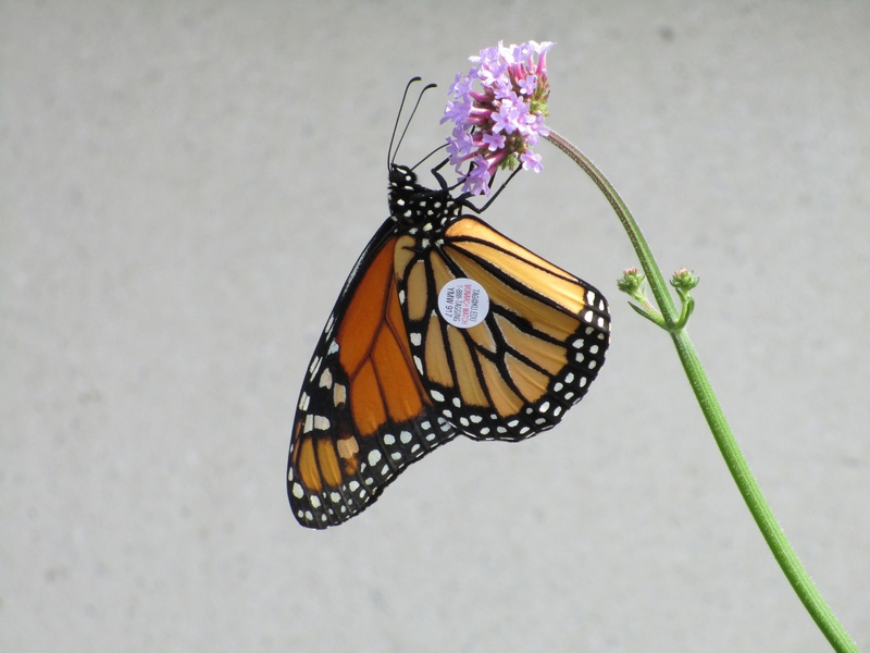 MONARCH_WATCH_02.jpg